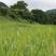 放牧地の草も伸びやかです